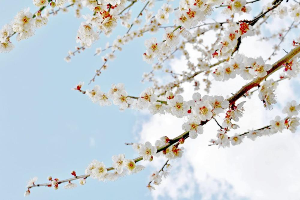 梅の隙間から覗く青空